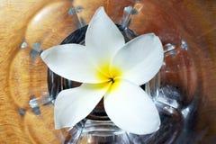 Επίπεδος βάλτε την άποψη του λουλουδιού Plumeria στο νερό Στοκ Φωτογραφίες