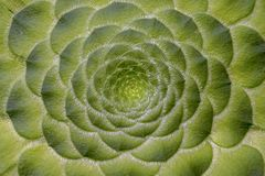 Επίπεδος-τα succulent φύλλα φυτών aeonium στοκ φωτογραφίες με δικαίωμα ελεύθερης χρήσης