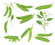 Επίπεδο διανυσματικό σύνολο πράσινων μπιζελιών με τους λοβούς υγιής φυσικός τροφίμων Γεωργικές εγκαταστάσεις με τα λουλούδια οργα διανυσματική απεικόνιση