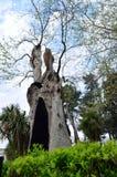 Επίπεδος-δέντρο Plátanus Στοκ φωτογραφίες με δικαίωμα ελεύθερης χρήσης