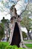 Επίπεδος-δέντρο Plátanus Στοκ φωτογραφία με δικαίωμα ελεύθερης χρήσης