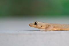 Επίπεδος-παρακολουθημένο gecko σπιτιών Στοκ φωτογραφία με δικαίωμα ελεύθερης χρήσης