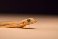 Επίπεδος-παρακολουθημένο gecko σπιτιών Στοκ Εικόνα