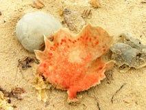 Επίπεδο σφουγγάρι θάλασσας Στοκ Φωτογραφίες