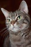 επίσημο πορτρέτο γατών Στοκ φωτογραφία με δικαίωμα ελεύθερης χρήσης