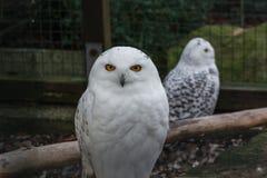 επίσης η Αρκτική ως μεγάλο harfang πουλιών ξέρει το μεγάλο χιονώδες λευκό θηραμάτων πορτρέτου κουκουβαγιών Στοκ Εικόνες