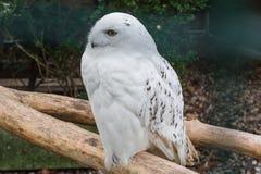 επίσης η Αρκτική ως μεγάλο harfang πουλιών ξέρει το μεγάλο χιονώδες λευκό θηραμάτων πορτρέτου κουκουβαγιών Στοκ φωτογραφίες με δικαίωμα ελεύθερης χρήσης
