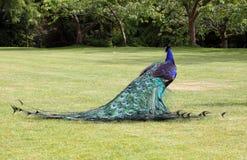 επίσης μπλε αποκαλούμενο κοινό cristatus antananarivo ινδικό pavo της Μαδαγασκάρης peafowl Στοκ εικόνες με δικαίωμα ελεύθερης χρήσης