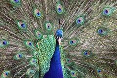 επίσης μπλε αποκαλούμενο κοινό cristatus antananarivo ινδικό pavo της Μαδαγασκάρης peafowl Στοκ Εικόνα