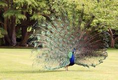 επίσης μπλε αποκαλούμενο κοινό cristatus antananarivo ινδικό pavo της Μαδαγασκάρης peafowl Στοκ Εικόνες