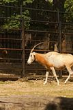 επίσης το εξωτικό εκλείψας σπίτι παιχνιδιών ερήμων αντιλοπών dammah κερασφόρο οι τύποι του ονόμασε το βόρειο oryx αγρόκτημα τις s Στοκ Εικόνα