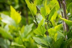 επίσης το aphidoidea αφιδίων aphids ως blackflies της Μεγάλης Βρετανίας καλλιεργημένα Κοινοπολιτεία καταστρεπτικά greenflies προσ Στοκ Εικόνες