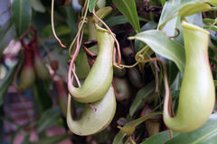 επίσης ως γνωστό φλυτζάνι τοπικά φυτό σταμνών πιθήκων nepenthes Στοκ φωτογραφία με δικαίωμα ελεύθερης χρήσης