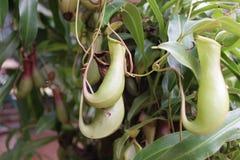 επίσης ως γνωστό φλυτζάνι τοπικά φυτό σταμνών πιθήκων nepenthes Στοκ εικόνες με δικαίωμα ελεύθερης χρήσης