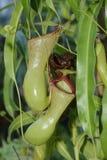 επίσης ως γνωστό φλυτζάνι τοπικά φυτό σταμνών πιθήκων nepenthes Στοκ εικόνα με δικαίωμα ελεύθερης χρήσης
