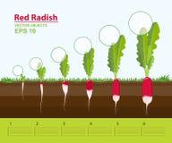επίσης corel σύρετε το διάνυσμα απεικόνισης Φάσεις αύξησης ενός κόκκινου ραδικιού στον κήπο Αύξηση, εξέλιξη και παραγωγικότητα το διανυσματική απεικόνιση