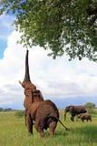 Επίτευξη ελεφάντων Στοκ Εικόνες