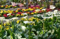 Επίδειξη ή ζωηρόχρωμα λουλούδια σε ένα ανθοπωλείο Στοκ Εικόνες