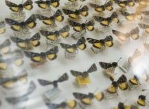 Επίδειξη πεταλούδων μουσείων φύσης κίτρινη Στοκ Εικόνες