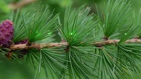 Επίδειξη της πράσινης ακτίνας λέιζερ στη φύση που χρησιμοποιεί έναν κλάδο του δέντρου αγριόπευκων με το strobilus φιλμ μικρού μήκους