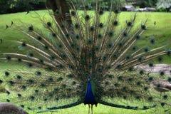 Επίδειξη Peacock Στοκ εικόνα με δικαίωμα ελεύθερης χρήσης