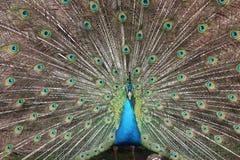 Επίδειξη Peacock Στοκ Φωτογραφία
