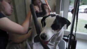 Επαγγελματική θηλυκή γούνα σκυλιών groomer ξεραίνοντας απόθεμα βίντεο