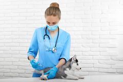 Επαγγελματική κτηνιατρική κάνοντας έγχυση με το τσίμπημα για το σκυλί Στοκ εικόνες με δικαίωμα ελεύθερης χρήσης
