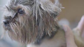 Επαγγελματικό κατοικίδιο ζώο groomer που κάνει στο χνουδωτό υγρό χαριτωμένο κούρεμα σκυλιών με το ψαλίδι που αρχίζει με το μαλλί  απόθεμα βίντεο