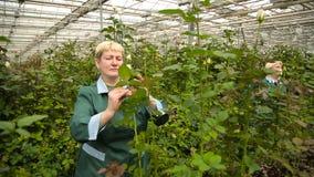 Επαγγελματικοί κηπουροί που εργάζονται στη φυτεία με τριανταφυλλιές απόθεμα βίντεο