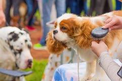 Επαγγελματικός κύριος σκυλιών κουρέματος Στοκ Φωτογραφίες