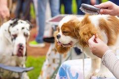 Επαγγελματικός κύριος σκυλιών κουρέματος Στοκ εικόνα με δικαίωμα ελεύθερης χρήσης