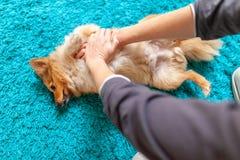 Επαναδραστηριοποίηση σε ένα μικρό τσοπανόσκυλο Shetland στοκ εικόνες
