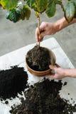 Επαναφύτευση houseplant στοκ εικόνα με δικαίωμα ελεύθερης χρήσης