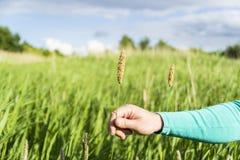 Επανδρώνει το spica φυτών ανθίσματος εκμετάλλευσης χεριών σε έναν πράσινο τομέα Στοκ Φωτογραφία