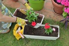 Επαν-potting σε έναν κήπο άνοιξη Στοκ φωτογραφία με δικαίωμα ελεύθερης χρήσης