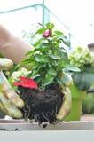 Επαν-potting σε έναν πολύβλαστο κήπο Στοκ Εικόνα
