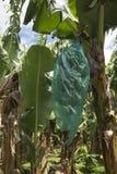 επαρχία Βιετνάμ φυτειών hoa μπανανών khanh Στοκ φωτογραφία με δικαίωμα ελεύθερης χρήσης