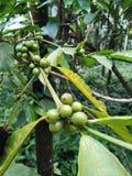 Επαρχία καφέ Plant Στοκ Εικόνες