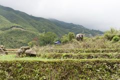 Επαρχία Sapa Buffalo στοκ φωτογραφία
