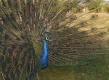 επενδύει με φτερά peacock την εμφάνιση Στοκ φωτογραφία με δικαίωμα ελεύθερης χρήσης