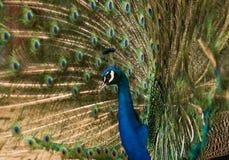 επενδύει με φτερά peacock την εμφάνιση Στοκ φωτογραφίες με δικαίωμα ελεύθερης χρήσης