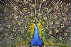 επενδύει με φτερά peacock την εμ&phi Στοκ Εικόνες