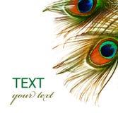 επενδύει με φτερά peacock Στοκ εικόνα με δικαίωμα ελεύθερης χρήσης
