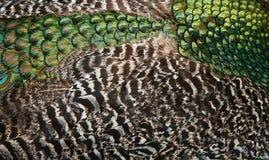 επενδύει με φτερά peacock Στοκ εικόνες με δικαίωμα ελεύθερης χρήσης