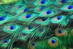 επενδύει με φτερά peacock Στοκ Φωτογραφία