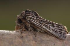 Επενδυμένος με φτερά γοτθικός σκώρος (decimalis Tholera) Στοκ φωτογραφία με δικαίωμα ελεύθερης χρήσης