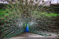 επενδύει με φτερά έξω peacock Στοκ Εικόνες
