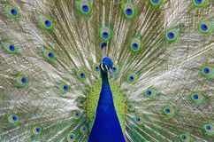 επενδύει με φτερά έξω peacock στοκ εικόνα
