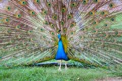 επενδύει με φτερά peacock τη διάδοση Στοκ Εικόνα